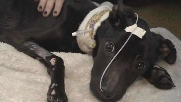 Cover for Severely neglected Fremont dog in need of special treatments