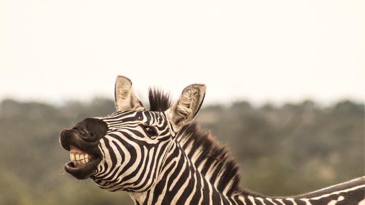 Cover for PG County's unrestrained roaming zeal of zebras still eluding capture