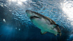 """Cover for Two Great White Sharks """"Pinged"""" Off The Coast Of Maine"""