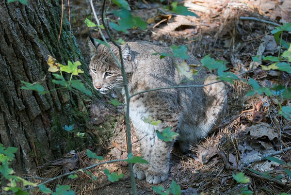 Picture for Bobcat and babies spotted at Plantation Resort