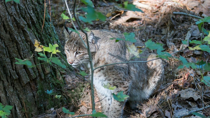 Cover for Bobcat and babies spotted at Plantation Resort