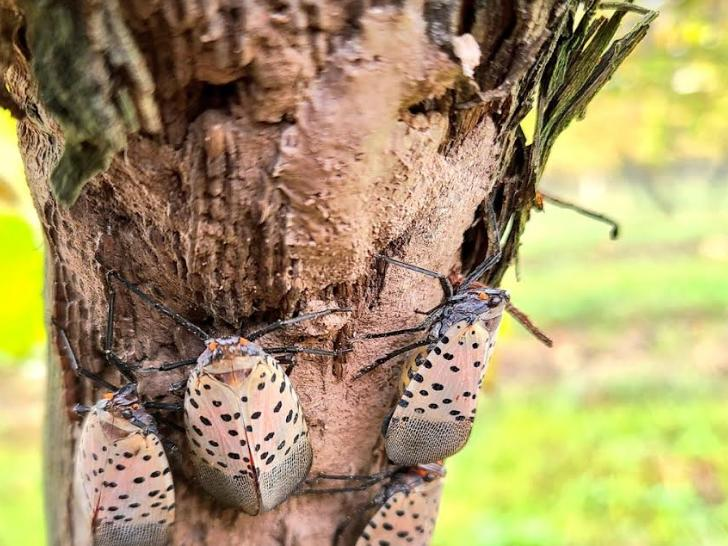 New York State Moves To Halt The Migration Of Lanternflies ...