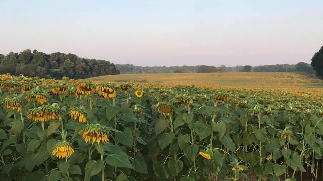 Picture for Annual sunflower festival offers views of huge flower fields