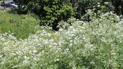 Cover for Deadly poisonous plant widespread in Pennsylvania now in bloom