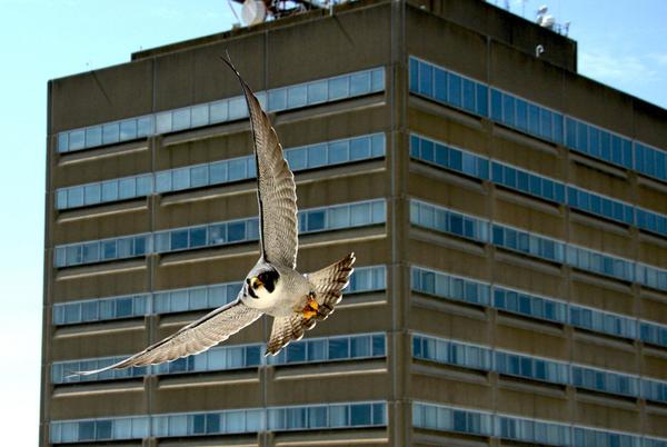 Picture for Peregrine falcons are soaring in greater numbers