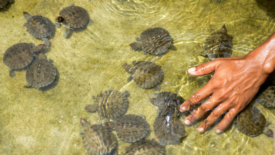 Picture for Houston Zoo welcomes four baby painted terrapin turtles