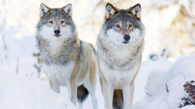 Cover for Three Yellowstone Wolves Killed Early On In Montana's Hunting Season