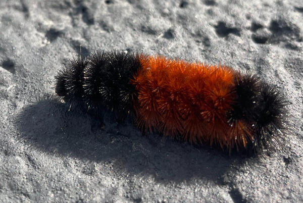 Picture for The woolly bears are out, can they really predict the upcoming winter?