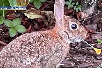 Picture for Rabbit Shot In Face With Blow Dart, Successfully Healed, Released Back Where He Was Found