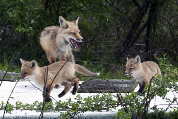 Picture for Gray, red foxes and coyotes: Know your coastal canids