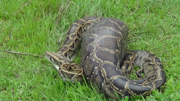 Picture for PHOTOS: Massive Snake Caught on Trail Cam Taking Down and Eating a Raccoon