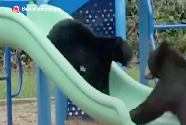 Picture for Watch a Bear Family Take Over a North Carolina Elementary School's Playground to Use the Slides