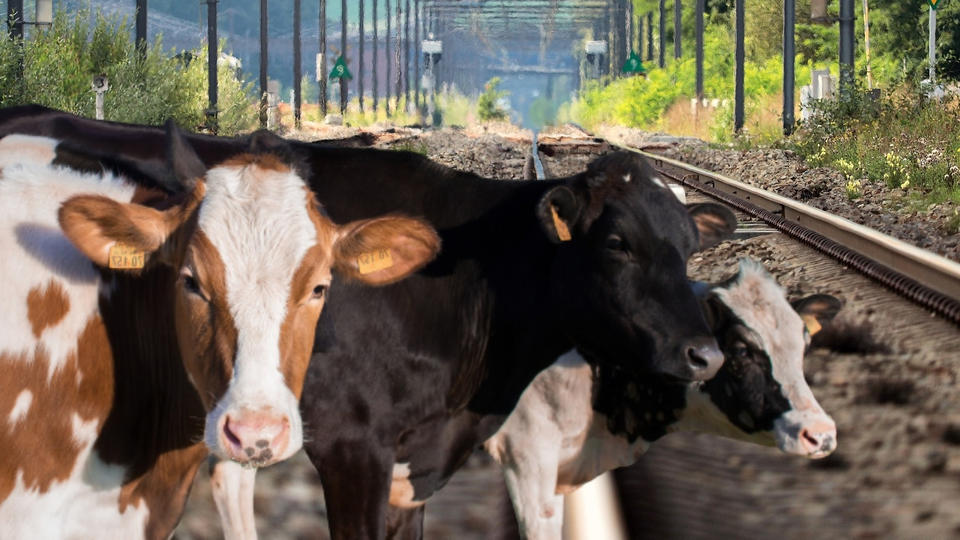 Picture for Southern West Virginia Train System Shut Down Due to Cows