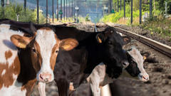 Cover for Southern West Virginia Train System Shut Down Due to Cows