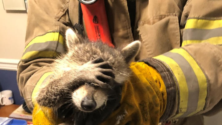 """Cover for """"Embarrassed"""" raccoon caught on camera after rescue: """"We all need a helping hand"""""""