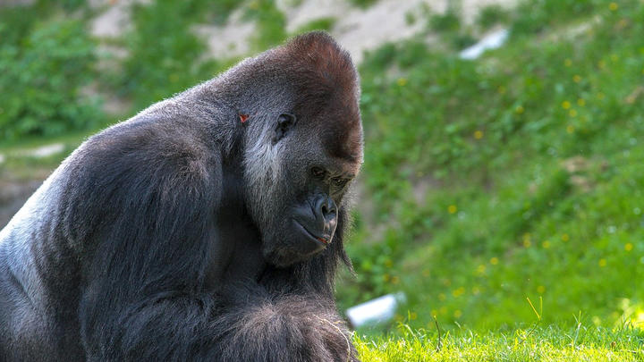 Cover for 13 gorillas test positive for COVID-19 at Atlanta Zoo