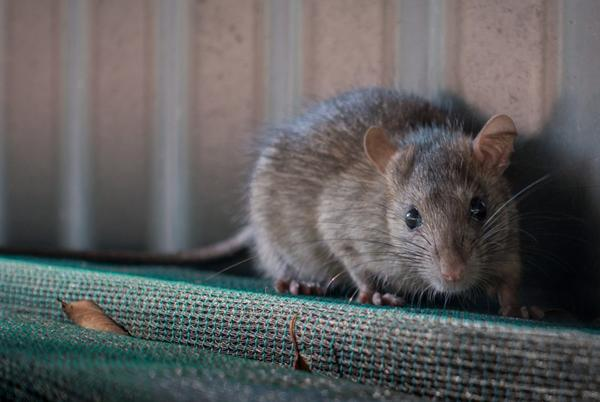 Picture for Chicago Rodents Exhibiting 'Unusual' and 'Aggressive' Behavior During Pandemic, Report Says