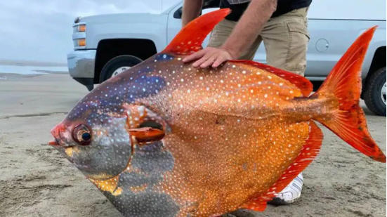 Picture for  US: A strange and giant fish was found on the Oregon coast, such fish are found in the depths of the sea