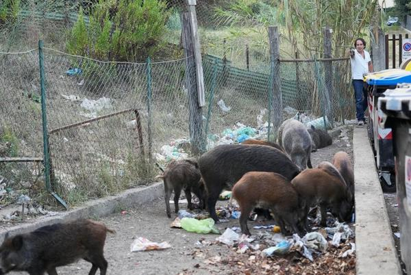 Picture for Basta! Romans say enough to invasion of wild boars in city