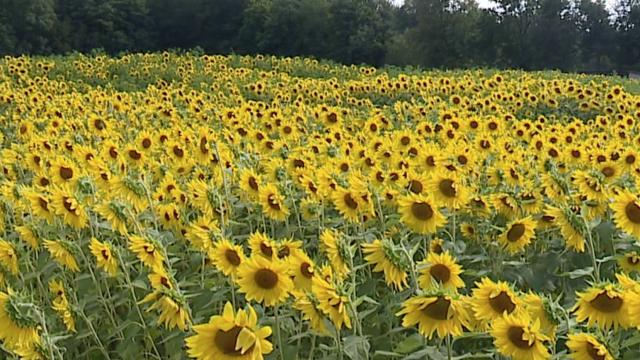 Picture for Medina Sunflower Farm open to the public