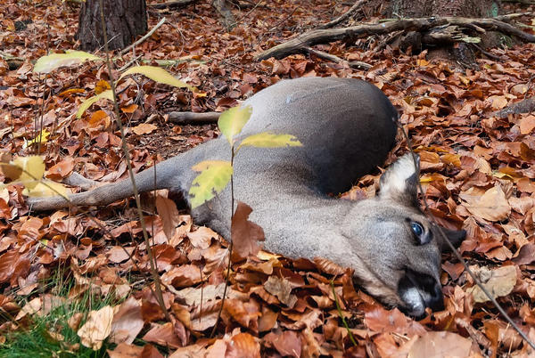 Picture for Deadly Epizootic Hemorrhagic Disease suspected in Jefferson County