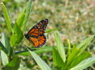 Picture for Sedalia Parks to host celebration for monarch butterflies