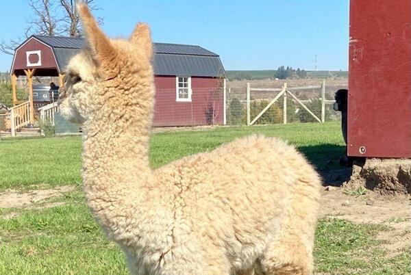 Picture for Prosser Alpaca Farms Celebrate National Alpaca Farm Days