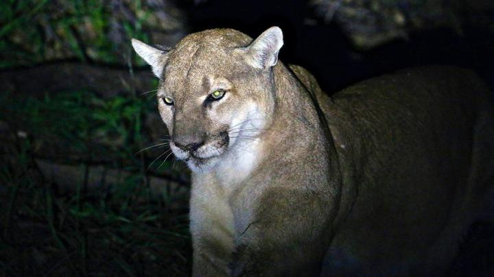 Cover for Driver thought they struck a mountain lion — they were right, Nebraska sheriff says