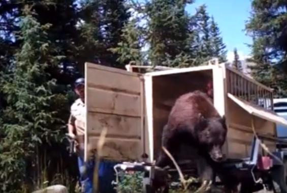 Picture for Bear hit and killed by car in Littleton had history of relocation