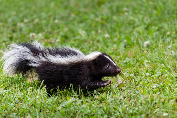 Picture for Animal Control confirms rabid skunk found in Hall County