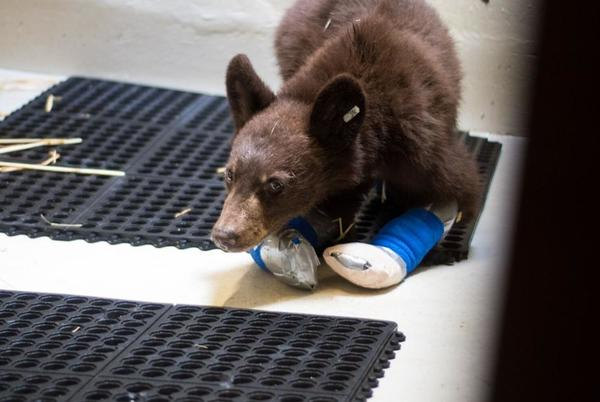 Picture for 3 bear cubs burned in north central WA wildfires continue to recover