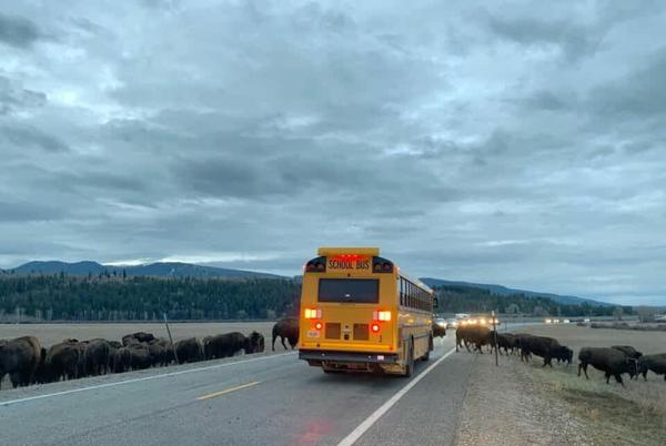 Picture for SNAPPED: Early morning bison backup