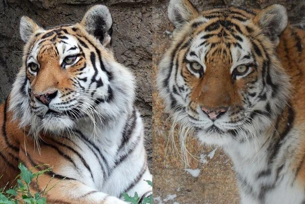 Picture for Racine Zoo Amur tiger dies from complications during routine exam