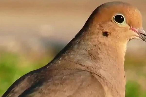 Picture for Ga. game wardens confiscate 157 illegally hunted doves