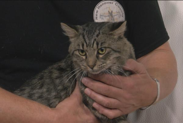 Picture for Pet Pals: 2-Year-old tabby cat is looking for a new home