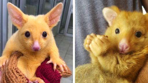 Vet Clinic Rescues A Rare Golden Possum That Looks Like A Real Life Pokemon News Break