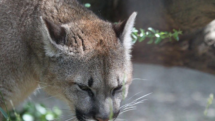 """Cover for Mother faces mountain lion to save son: """"She punched the lion to fend him off"""""""