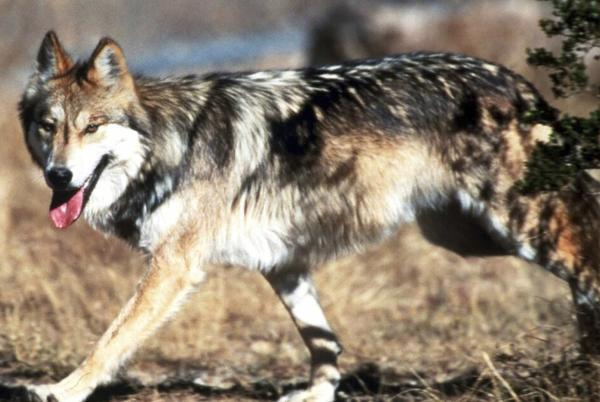 Picture for Biden administration refuses to follow science on wolves