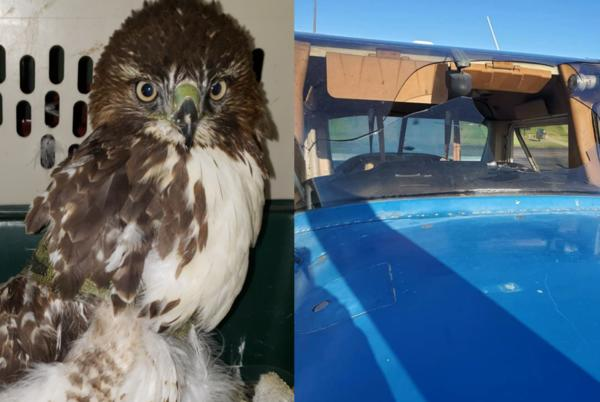 Picture for PHOTOS: Red Tail Hawk slams into plane windshield during student's flight