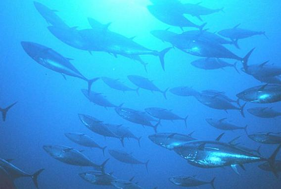 Picture for Marshall Islands Key to Sustainable Global Tuna Industry
