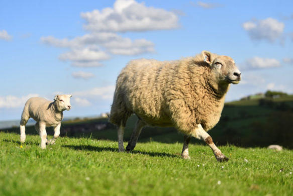 Picture for Shepherd Wanted: Lamb on the Loose at University of Utah Has Evaded Capture for Four Days