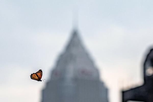 Picture for Thousands Of Monarch Butterflies Are Headed Straight For Cleveland This Fall