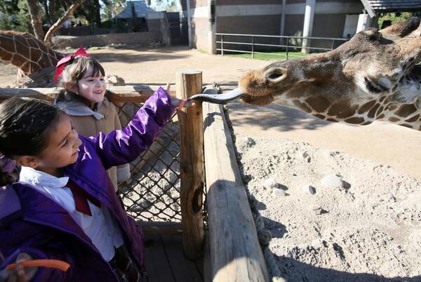 Picture for Denver, the oldest giraffe ever at Tucson's Reid Park Zoo, dies