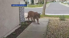 Cover for Citrus Heights Resident Describes Being Visited By Mountain Lion