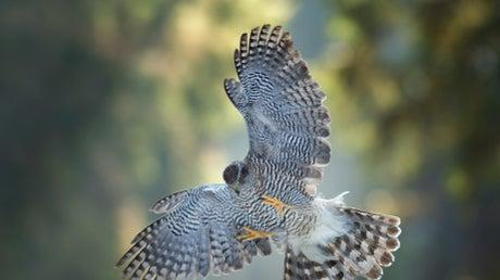 Picture for Police launch appeal after goshawk illegally shot dead in public woodland