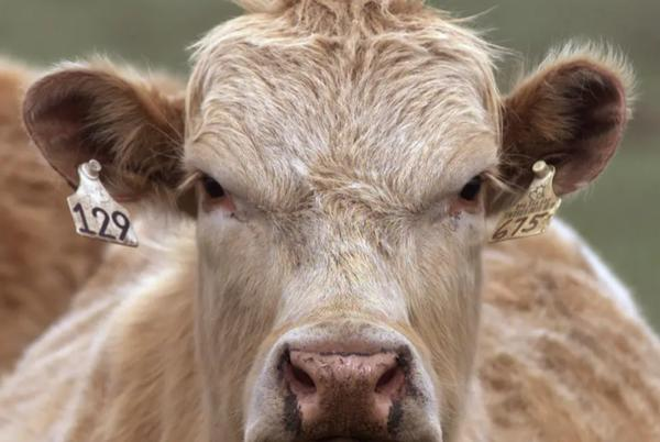Picture for Case of mad cow disease identified on Somerset farm as area sealed off to stop infection spreading