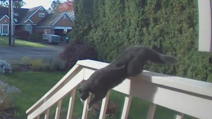 Cover for Video shows fearless feline chase coyote away from Oregon home