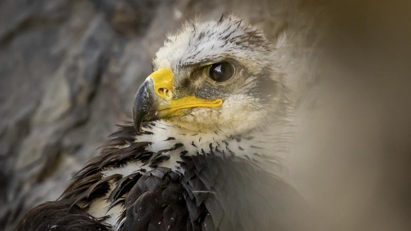 Picture for Golden eagle populations struggling in Utah and the West