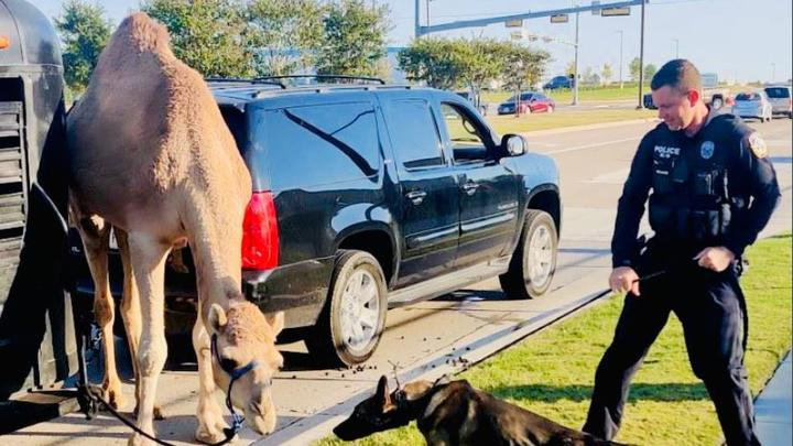 Cover for Drivers Curious Why The Camel Crossed The Road After Sighting In North Texas
