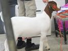 Picture for Area goat exhibitor shares the national stage